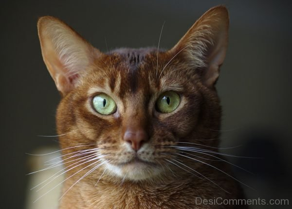 Fatty Abyssinian Cat