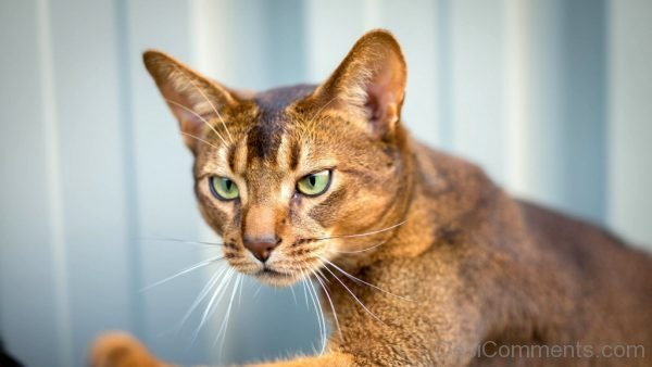 Wallpaper Of Abyssinian Cat