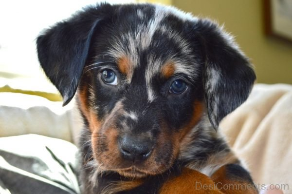 Beauceron Puppy