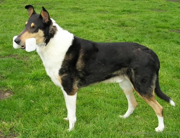 Collie, Smooth