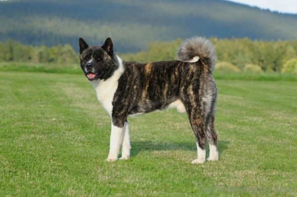 Wallpaper Of American Akita