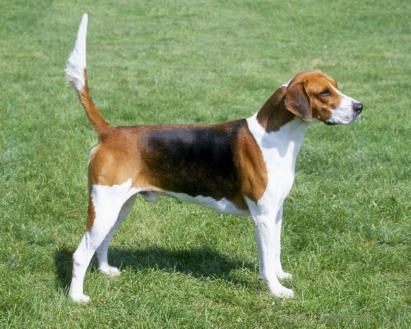 Wallpaper Of American Foxhound