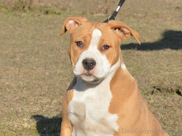 Wallpaper Of American Staffordshire Terrier