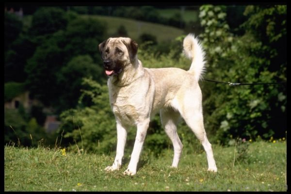 Wallpaper Of Anatolian Shepherd Dog