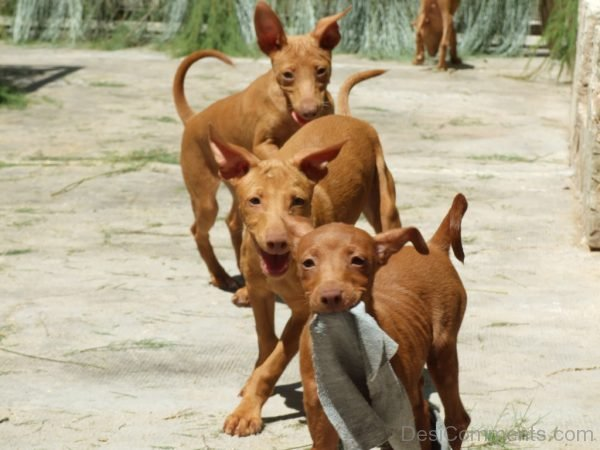 Wallpaper Of Andalusian Hound Dogs