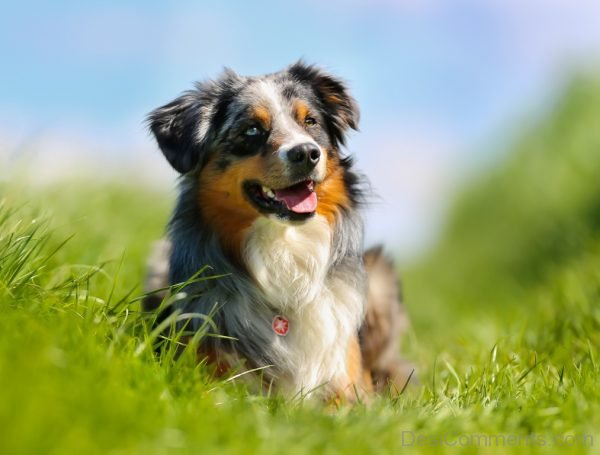 Wallpaper Of Australian Shepherd