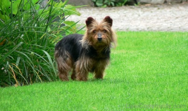 Wallpaper Of Australian Terrier