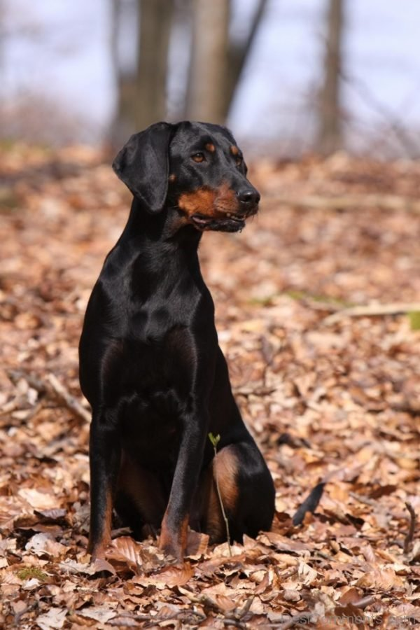 Wallpaper Of Austrian Black and Tan Hound