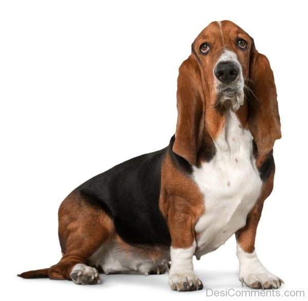 Wallpaper Of Basset Hound