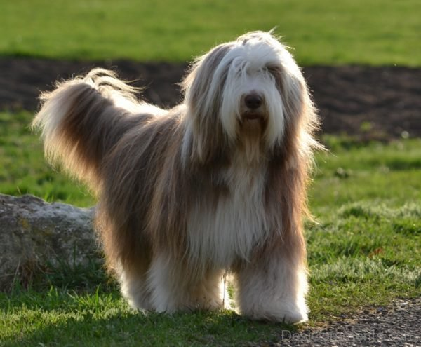 Wallpaper Of Bearded Collie