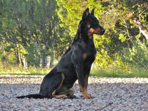 Wallpaper Of Beauceron