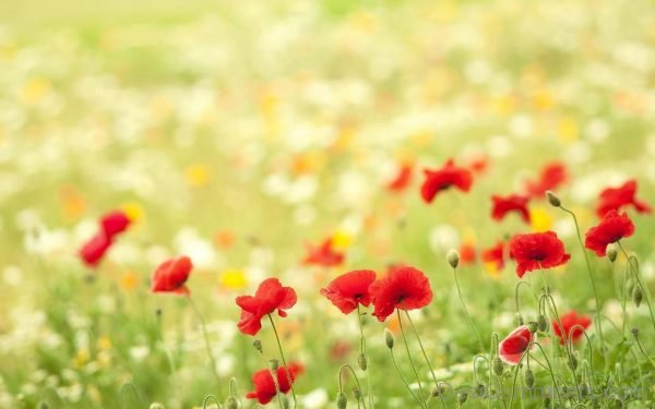 Wallpaper Of Red Flowers