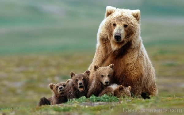 Picture: Bear And Cubs Image