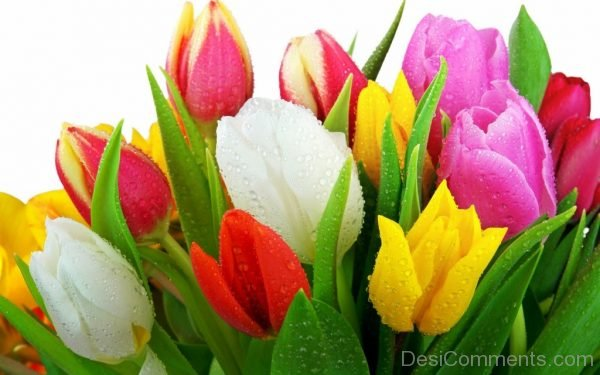 Beautiful Pic Of Tulip Flowers