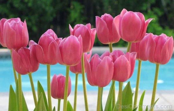 Beautiful Pink Tulip Flowers Pic