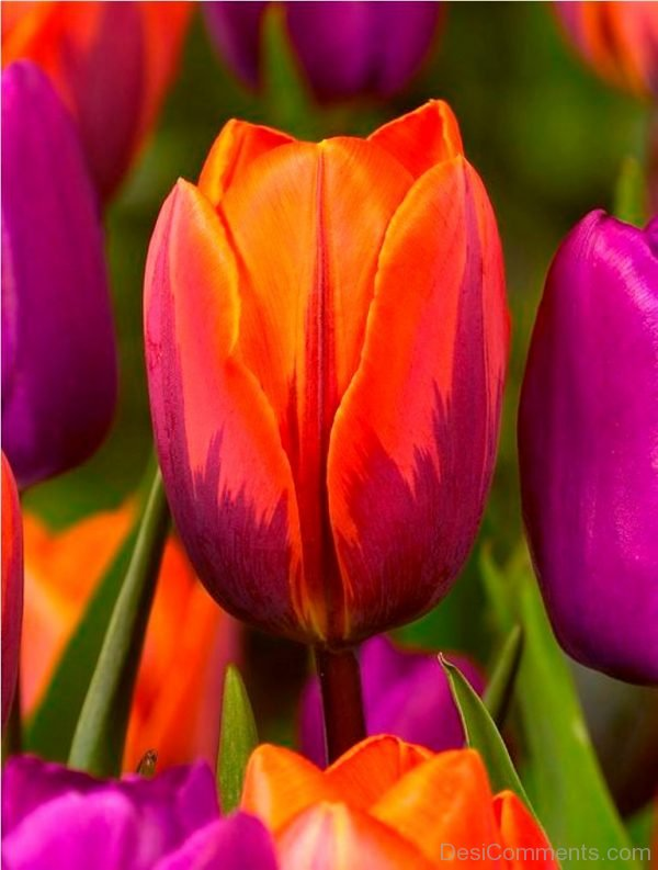 Brilliant Pic Of Tulip Flowers