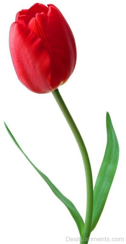 Image Of Tulip Flower