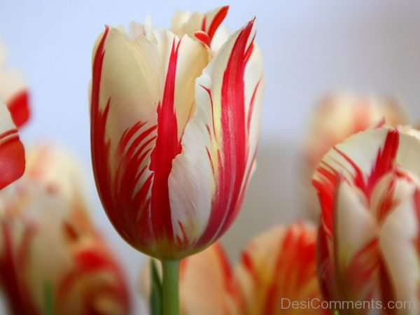 Lovely Pic Of Tulip Flowers