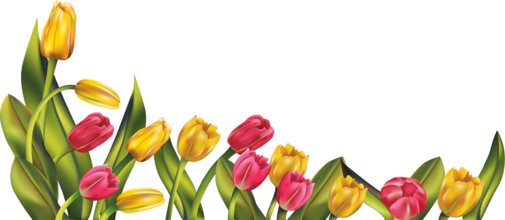 Tulip Pictures, Images, Graphics