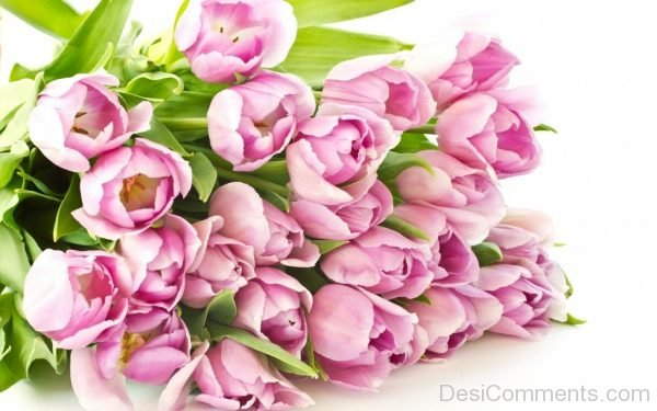 Lovely Tulip Flowers Pic