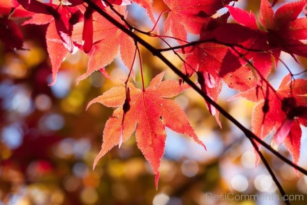 Maple Autumn Leaf Red Leaves Coloring Bright