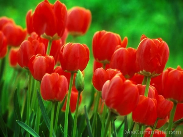 Outstanding Tulip Flowers Pic