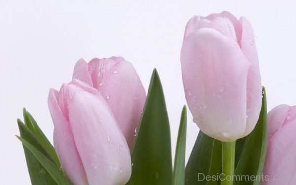 Pink Tulip Flowers Image