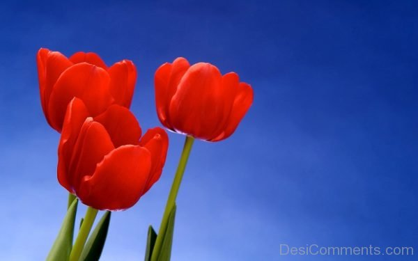 Red Tulip Flowers Pic