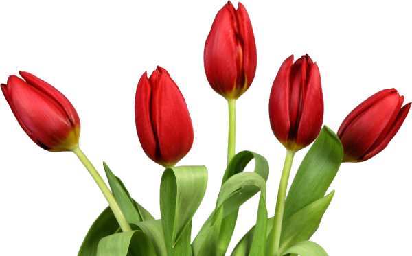 Tulip Flower Photo