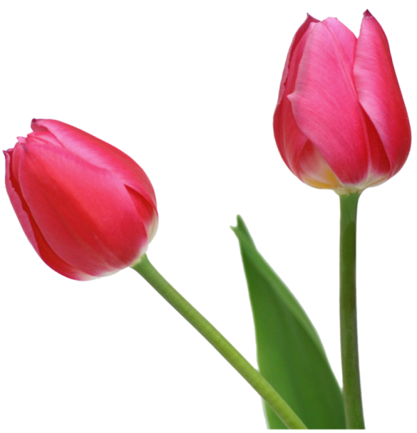 Tulip Flower Picture