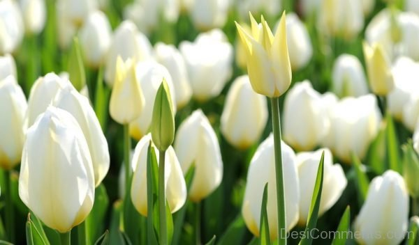 White Tulip Flowers Pic