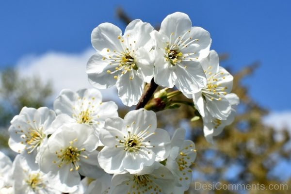 Whithe Cherry Flowers