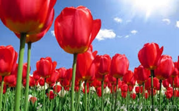 Wonderful Tulip Flowers Pic