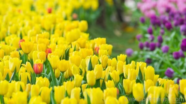 Yellow Tulip Flowers Pic