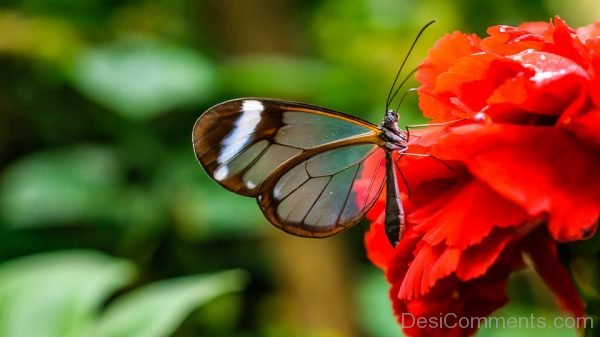 Beautiful Pic Of Glass Wings Butterfly