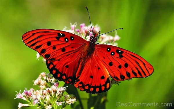 Beautiful Red Butterfly Pic