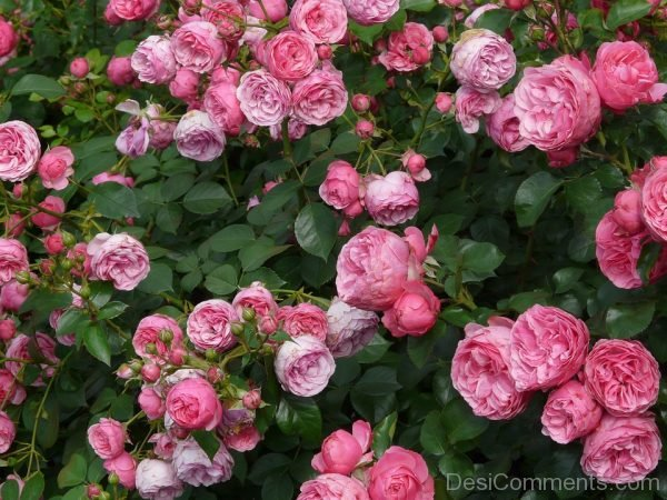 Picture: Beautiful Rose Flowers