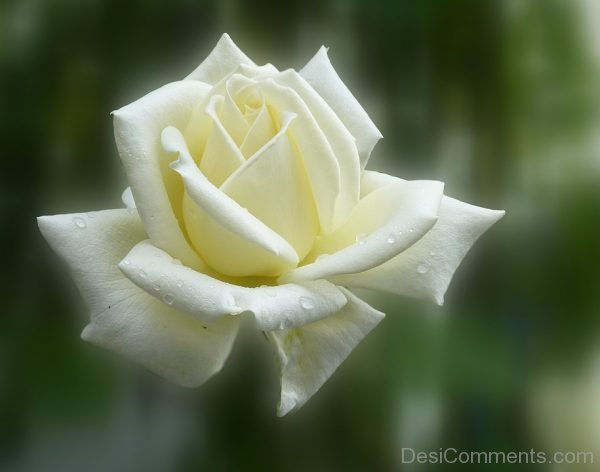 Picture: Beautiful White Flower