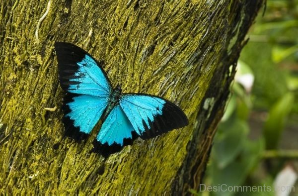 Black And Blue Butterfly Pic