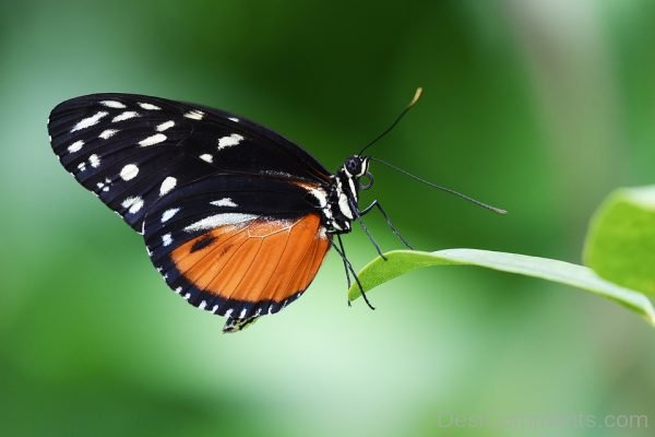 Black And Orange Pic Of Butterfly
