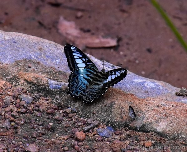 Black Butterfly Image