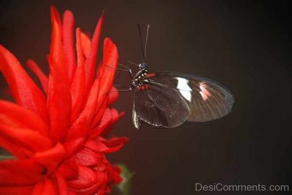 Black Papilio Butterfly Image