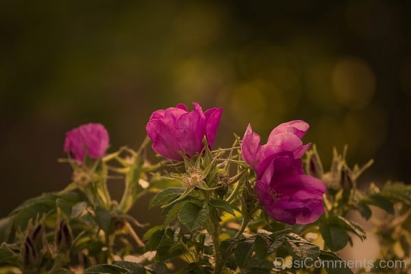 Picture: Garden Rose