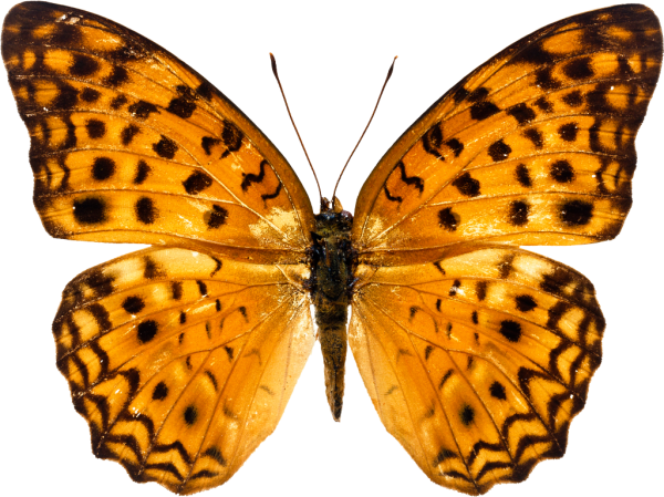 Golden Color Butterfly