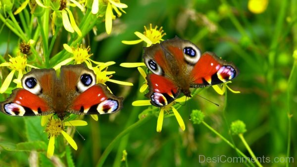 Inachiso Io Butterfly