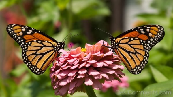 Lovely Monarch Butterfly Pic