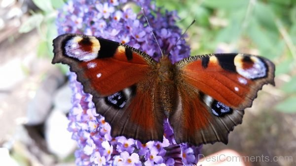 Lovely Peacock Butterfly Image