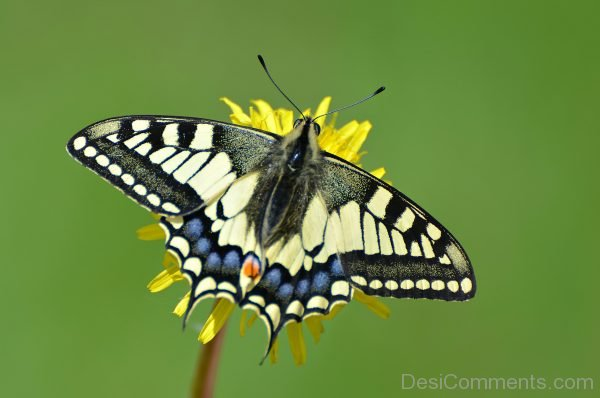 Lovely Pic Of Swallowtail Butterfly