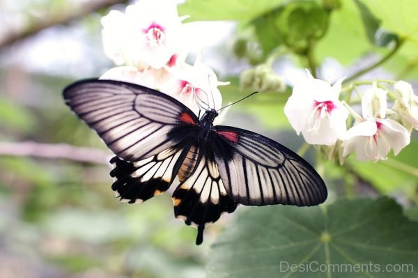 Nice Black Butterfly Pic