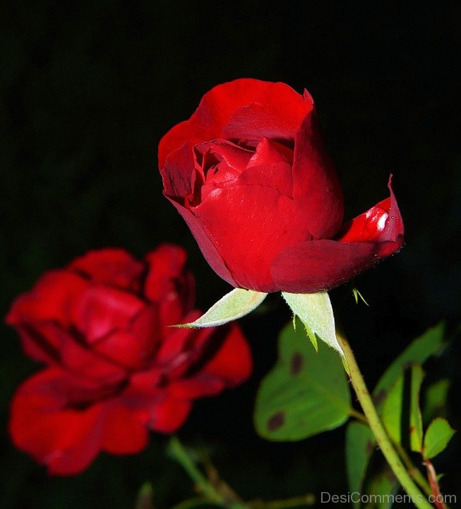 Nice Rose Pic - DesiComments.com